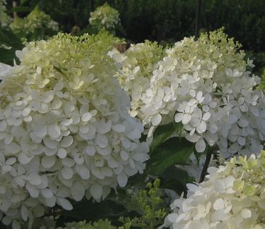 hydrangea paniculata phantom pee gee hardy hydrangea from pleasant run nursery. Black Bedroom Furniture Sets. Home Design Ideas