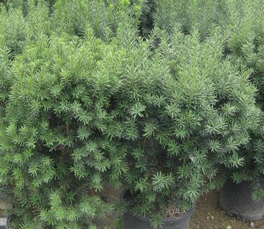 taxus x media hicksii hicks anglojap yew from pleasant run. Black Bedroom Furniture Sets. Home Design Ideas
