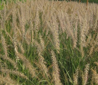 Pennisetum orientale oriental fountain grass from pleasant for Oriental grass for shade