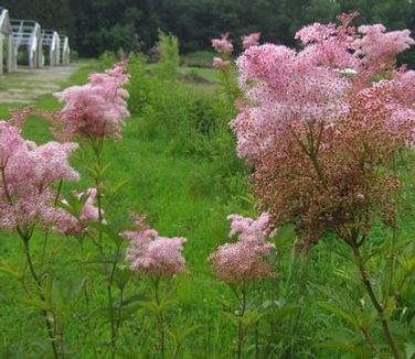 Filipendula Rubra Venusta Queen Of The Prairie From Pleasant Run Nursery