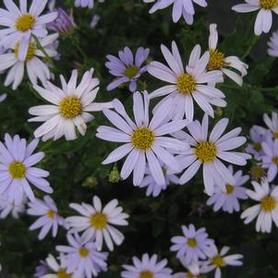 Japanese Aster