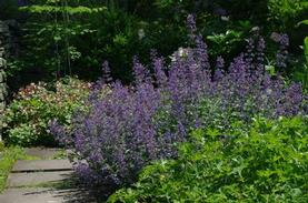 Nepeta x faassenii Walker's Low