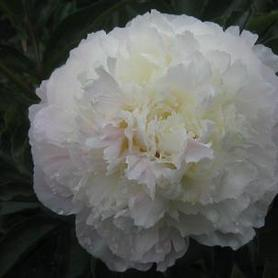 Paeonia Shirley Temple
