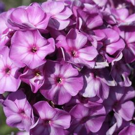 Phlox paniculata Pixie Miracle Grace