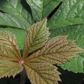 Featherleaf Rodgersia