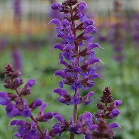 Salvia nemorosa May Night