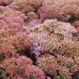Sedum x Autumn Joy