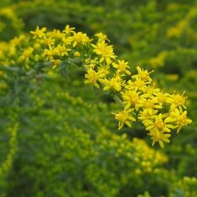 Rough Stemmed Goldenrod