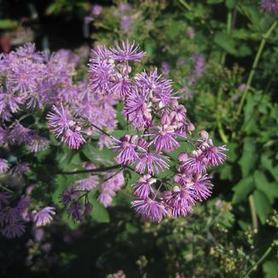 Thalictrum sp. Black Stockings