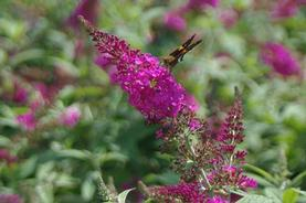 Buddleia davidii Miss Ruby
