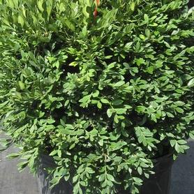 Buxus x Green Gem