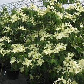 Cornus kousa Greensleeves