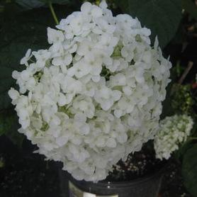 Hydrangea arborescens Incrediball®
