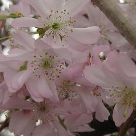 Autumn Flowering Cherry