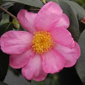 Camellia x Winter's Star