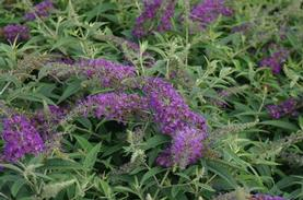 Buddleia x Lo & Behold® 'Purple Haze'