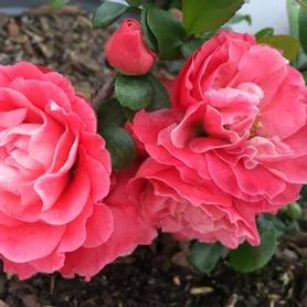 Chaenomeles speciosa Double Take™ 'Pink Storm'