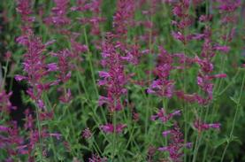 Agastache x 'Heat Wave'