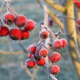 Crataegus viridis Winter King