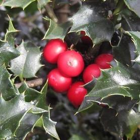 Ilex x Red Beauty®