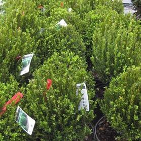 Buxus sempervirens Justin Brouwers