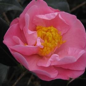Camellia x Pink Icicle
