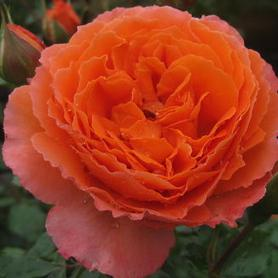 Rosa Adobe Sunrise™