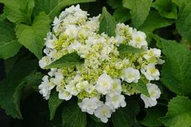 Hydrangea macrophylla Wedding Gown