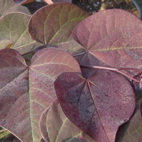 Cercis canadensis Burgundy Hearts®