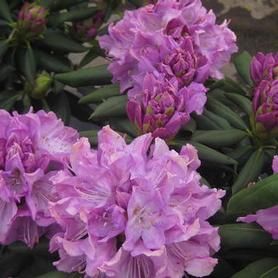 Rhododendron catawbiense English Roseum