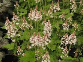 Tiarella x Crow Feather