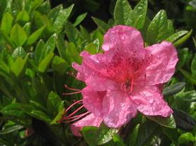 Rhododendron Girard Renee Michelle