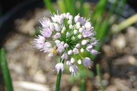 Allium tangulosum 'Summer Beauty'
