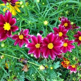 Coreopsis x Big Bang™ 'Mercury Rising'