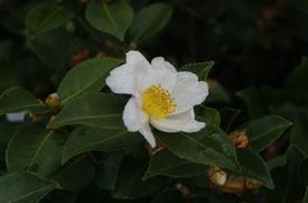 Camellia x Northern Exposure