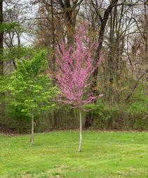 Cercis canadensis Summer's Tower