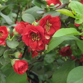 Chaenomeles speciosa Dragon's Blood