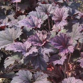 Heuchera x Frosted Violet