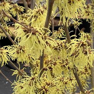 Hamamelis x intermedia Sunburst