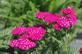 Achillea millefolium Saucy Seduction™