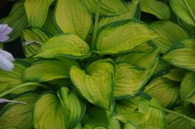 Plantain Lily