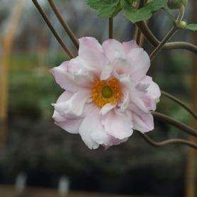 Anemone x hybrida 'Loreley'