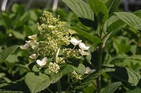 Hydrangea paniculata Little Quick Fire®