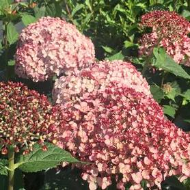 Hydrangea arborescens Incrediball® 'Blush'