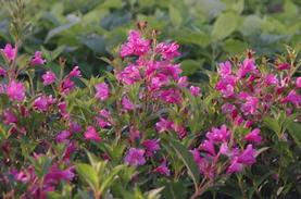 Weigela florida Sonic Bloom® 'Pink'