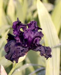 Iris germanica Superstition