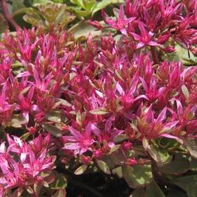 Sedum spurium Dragon's Blood