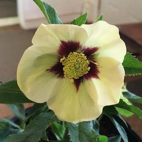 Helleborus x Honeymoon™ 'Spanish Flare'
