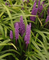 Liriope muscari Royal Purple