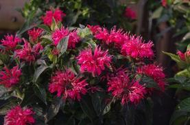 Monarda x Sugar Buzz® 'Cherry Pops'
